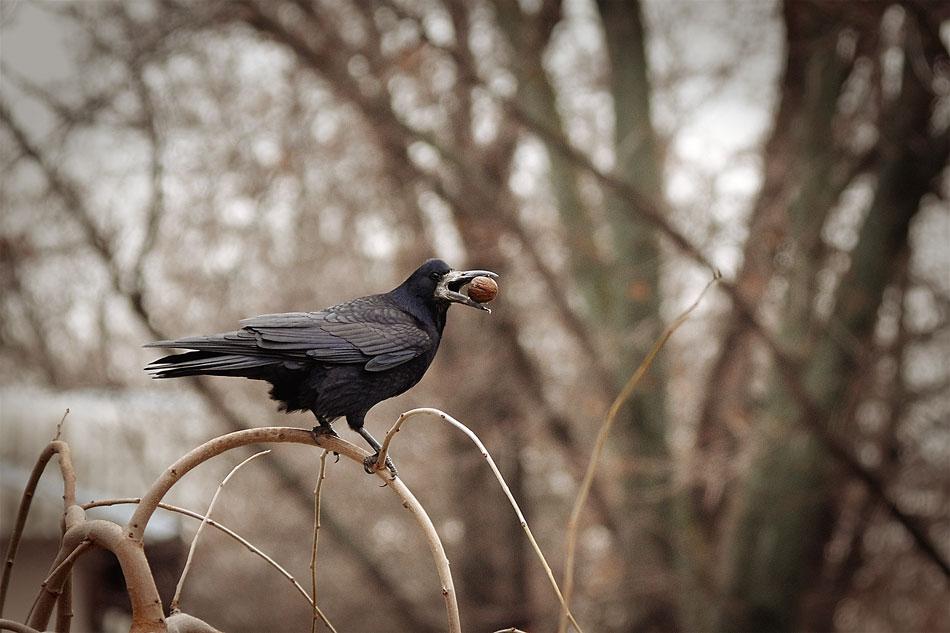Ворона и орех
