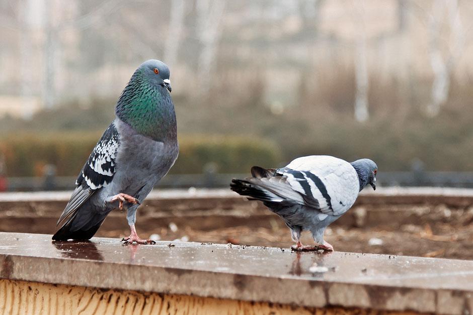 Голубки в Тирасполе