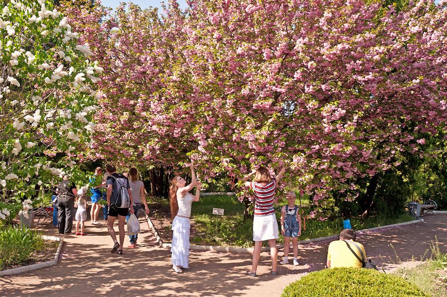 В дендропарке Тирасполя цветёт сакура (1)