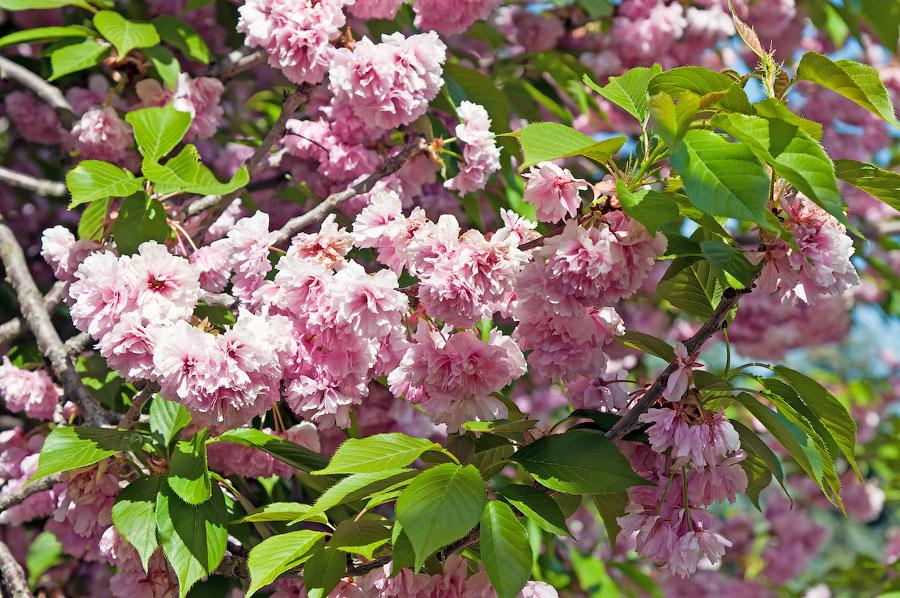 В дендропарке Тирасполя цветёт сакура (2)