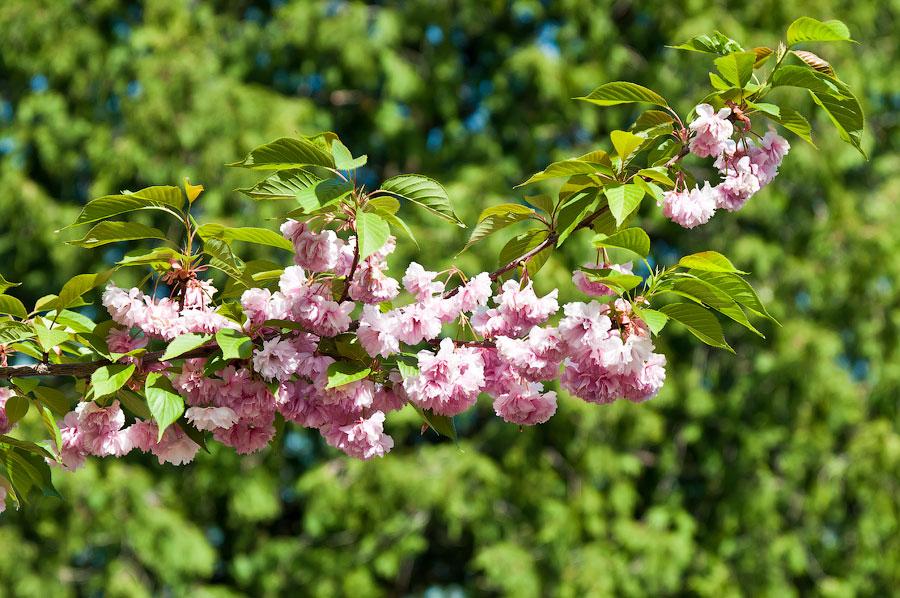 В дендропарке Тирасполя цветёт сакура (3)