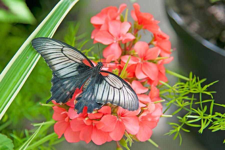 Про крымских бабочек (12)