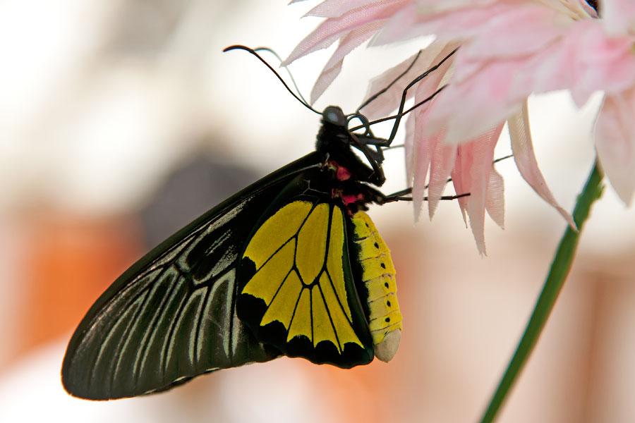 Про крымских бабочек (1)