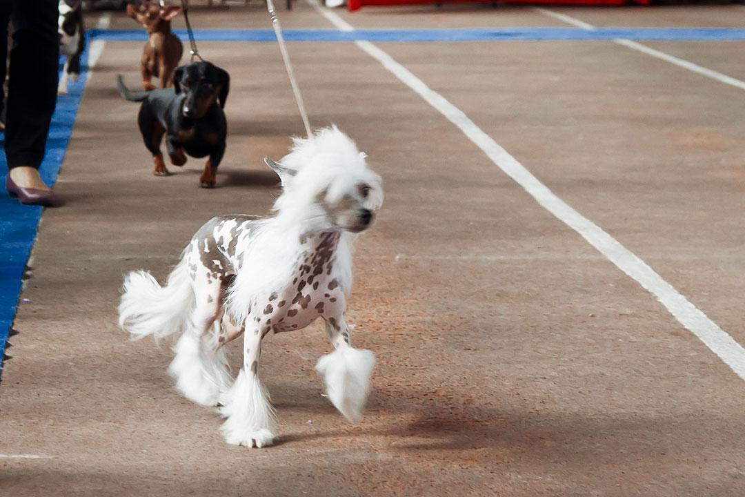 Международная выставка собак в Тирасполе - 8 сентября 2013 года (4)