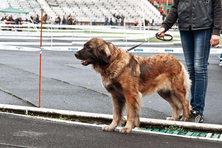 выставка собак в Тирасполе - 15 сентября 2013 года (15)